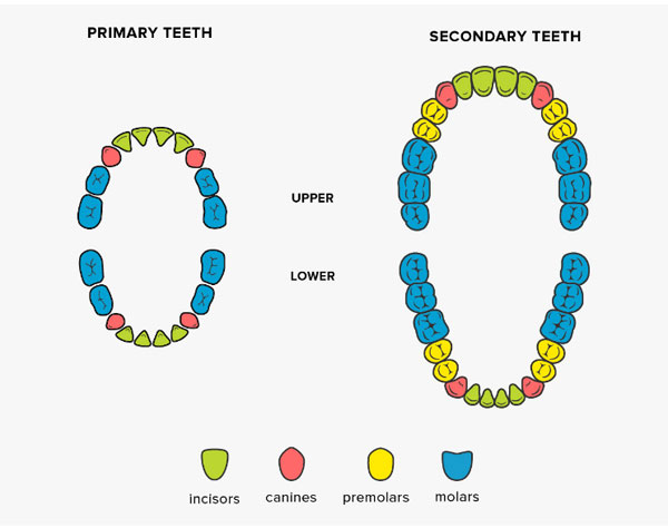 four types of teeth