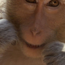 Monkeys Teach Their Young to Floss Teeth